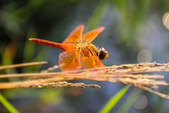 4dragonfly royalty free stock images