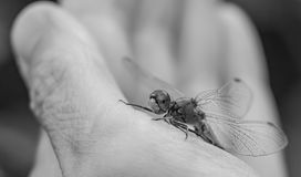 A dragonfly seats on a woman`s left hand in a black and white in macro stock photo
