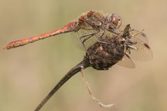 Dragonfly on seed head royalty free stock photography