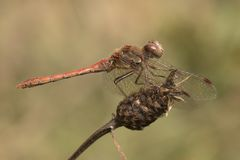 Dragonfly on seed head stock photo