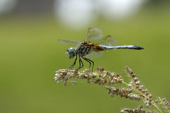 DragonFly and Seeds royalty free stock images