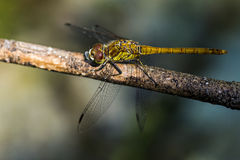 Dragonfly. Seen on the branch stock image