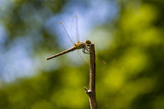 Dragonfly. Seen on the branch stock photos