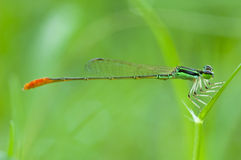 Dragonfly selective focus at the eye Royalty Free Stock Images