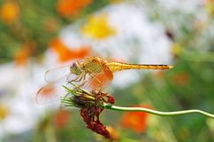 Dragonfly on senescence flower. Dragonfly is resting on senescence flower Royalty Free Stock Photo