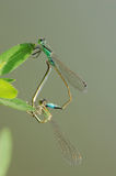 Dragonfly sex Royalty Free Stock Photo