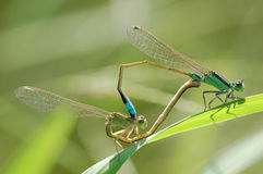 Dragonfly sex. Damselfly (Caenagrion) belongs Insecta, Odonata, suborder families are winged royalty free stock photos