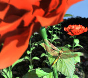 Dragonfly on a sheet of roses Royalty Free Stock Images