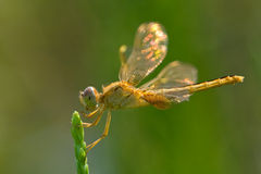 Dragonfly with shinning wings Stock Photos