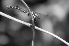 Dragonfly stand in bud Royalty Free Stock Photos