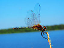 A dragonfly. A shot of a dragonfly that I was chasing until I got this photo on a small island in Cambodia Royalty Free Stock Photo