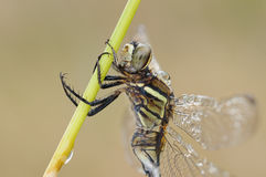 A dragonfly side close-up. A dragonfly taking a break,a close-up from side Stock Photos