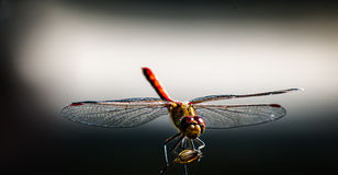 Dragonfly side lit. Common darter dragonfly Sympetrum striolatum side lit by early morning sun against a pale background Stock Images