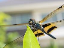 Dragonfly siedzi na liściu Zdjęcie Royalty Free