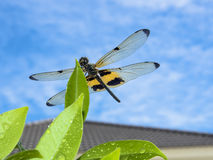 Dragonfly siedzi na liściu Zdjęcia Stock