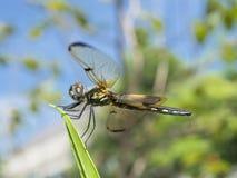 Dragonfly siedzi na liściu Obraz Stock