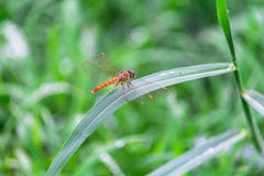 Dragonfly siedzi na trawie Fotografia Royalty Free