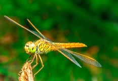 Dragonfly siedzi na trawie na łące Zdjęcia Stock