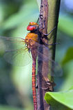 Dragonfly sighted in Atlantic Rainforest Royalty Free Stock Image