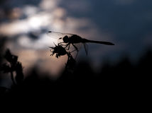 Dragonfly silhouette Royalty Free Stock Image