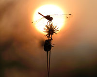 Free Dragonfly Silhouette Royalty Free Stock Images - 64338329
