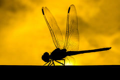 Dragonfly with a silhouette background. Royalty Free Stock Photography