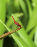 Dragonfly. Singapore - August 2016 -A red dragonfly resting on the tip of a green leaf at the Gardens by the Bay royalty free stock photography