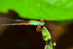 Dragonfly sit on grass. Dragonfly sit on grass at morning Royalty Free Stock Photography