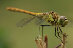Dragonfly. On a siting on a breanch Royalty Free Stock Photos