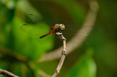 Dragonfly siting on a hinge Stock Photos