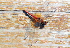 Dragonfly. Sits on the boards of a leafless paint Royalty Free Stock Image