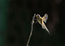 Dragonfly sits on a branch, in profile Royalty Free Stock Photos