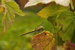 The dragonfly sits on a currant sheet royalty free stock image