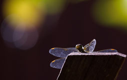 Dragonfly sits on a fence Royalty Free Stock Photos