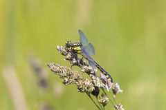 dragonfly sits on a grass on a meadow on a Sunny summer day Royalty Free Stock Photos