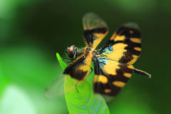 A Dragonfly sits on leaf with blurry green background Stock Images