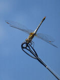 Dragonfly. Sits quietly at the end of a fishing rod Stock Photos