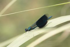 Dragonfly sits on reed Royalty Free Stock Photos