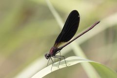 Dragonfly sits on reed above a stream Royalty Free Stock Photography