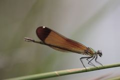 Dragonfly sits on reed Stock Photo