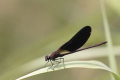 Dragonfly sits on reed above a stream Royalty Free Stock Photo