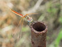 Dragonfly. Sits on a rusty metal pipe Stock Photos