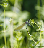 Dragonfly sits on a stalk. Dragonfly sits on a stalk royalty free stock image