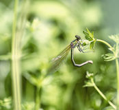 Dragonfly sits on a stalk.  stock images