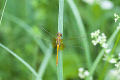 Dragonfly sits on a stalk Royalty Free Stock Photography
