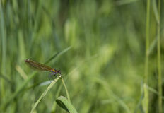 Dragonfly sits on a stalk Stock Images