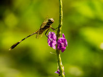 Dragonfly. A dragonfly sits on a stem Stock Images