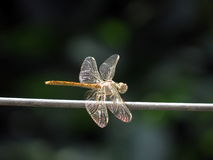 Dragonfly. Sits on the wire Stock Images