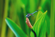 Dragonfly on water plant Stock Photo