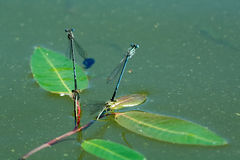 Dragonfly sitting on the aquatic plant Royalty Free Stock Photos